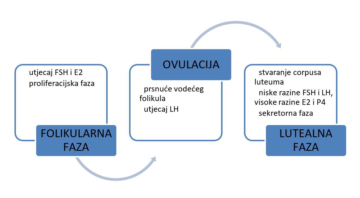 Dvije faze menstrualnog ciklusa